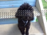 Purebred Black Toy Poodle